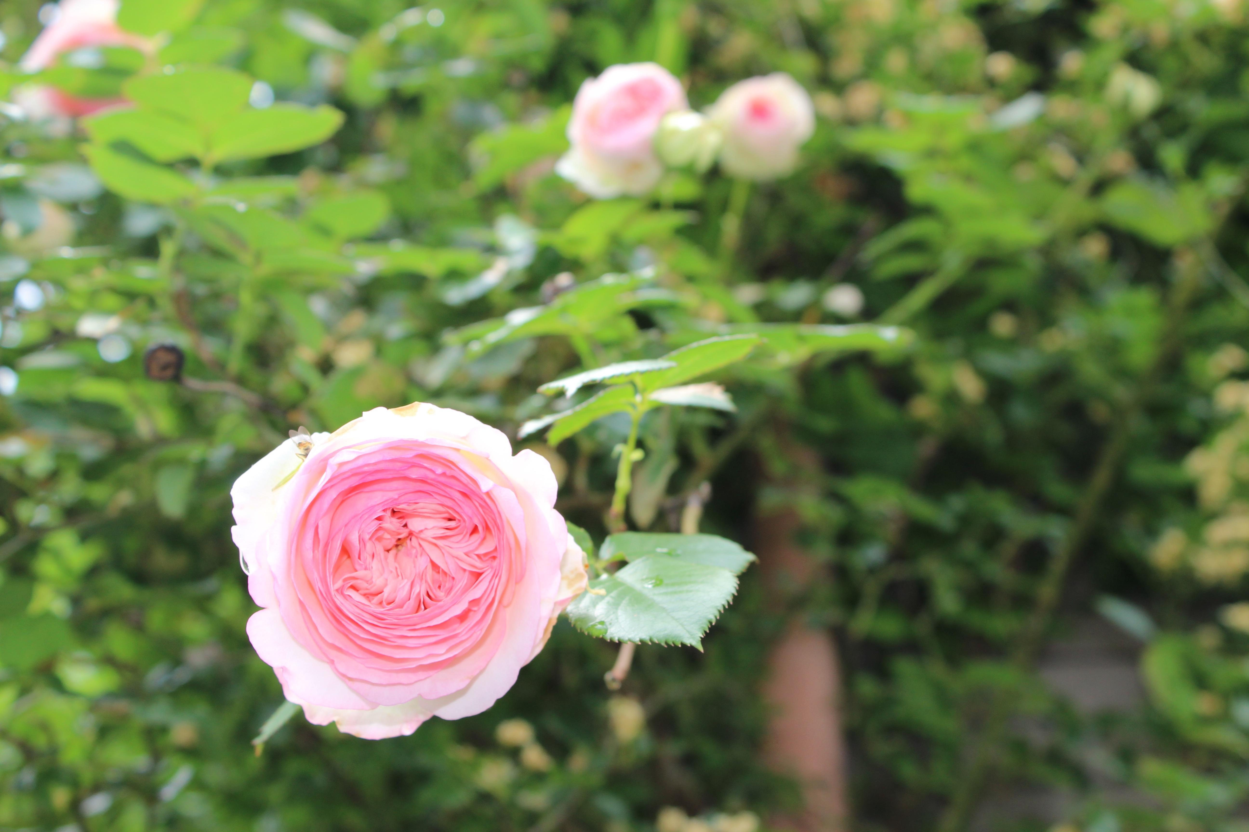ピエール・ドゥ・ロンサールが、今年もまた美しい花を咲かせています。