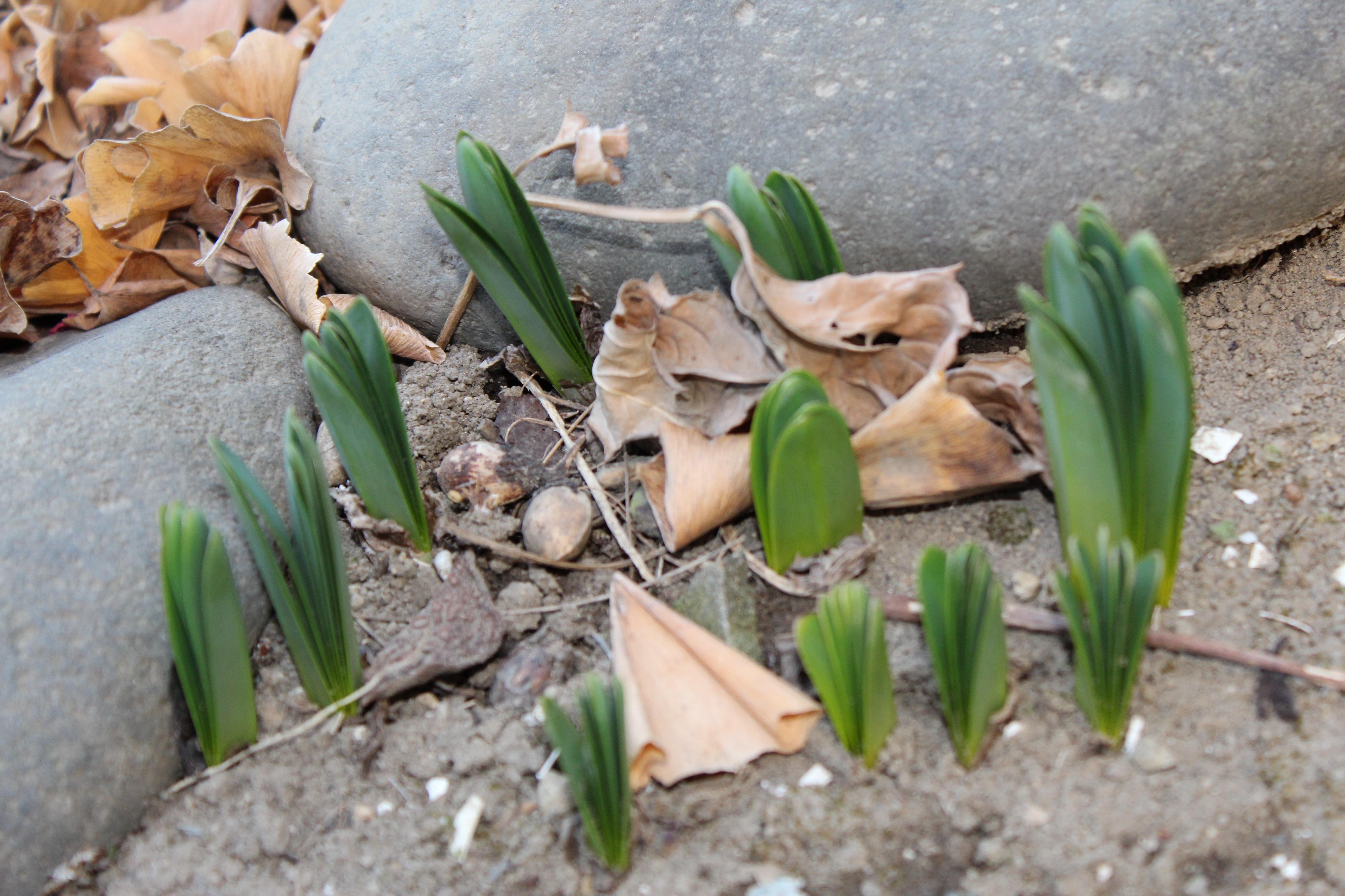 夏水仙(なつずいせん)リコリスも芽吹いてきていました。