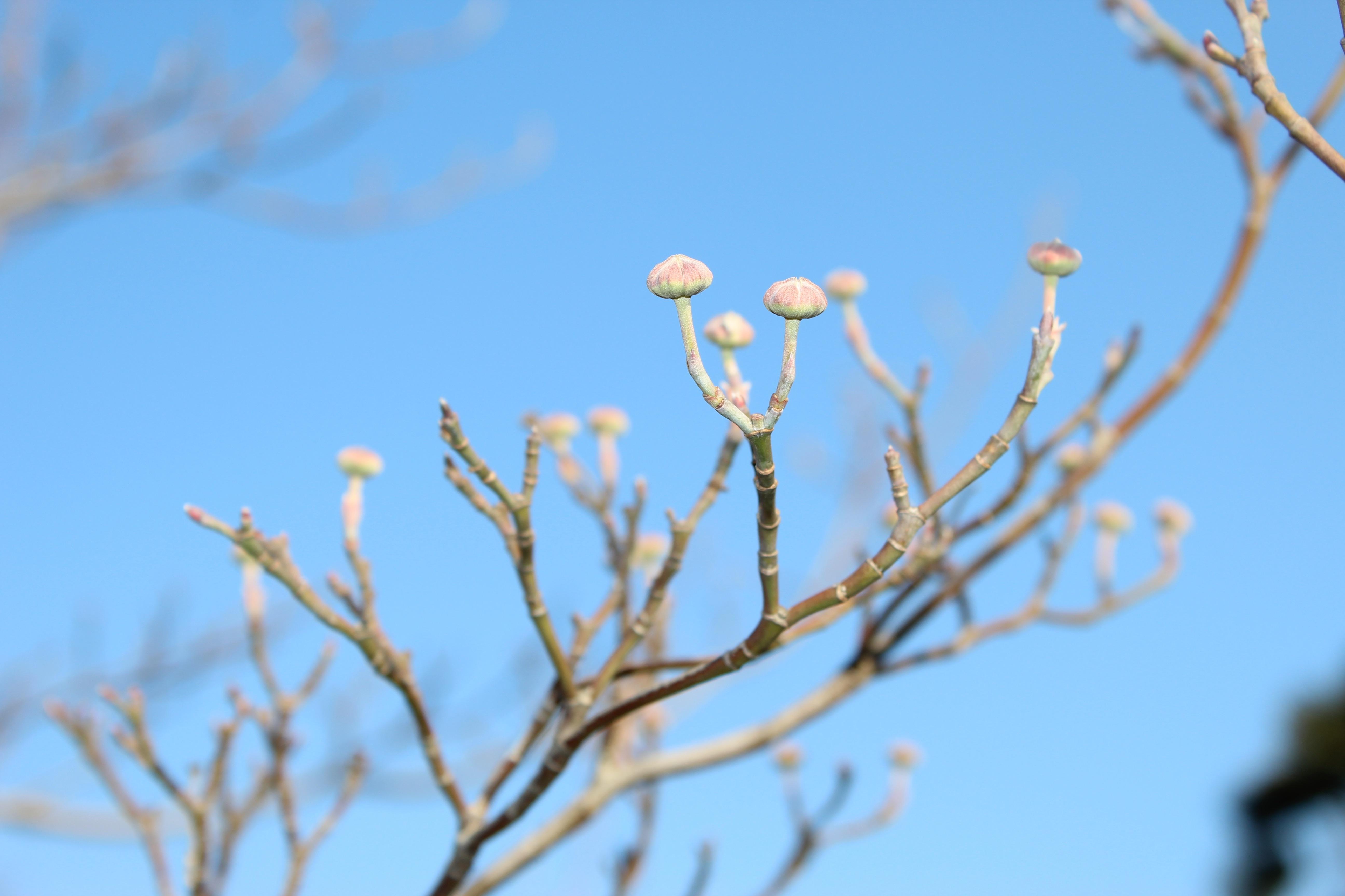 今日の誕生花の花水木(はなみずき)は、早くから春の準備は完了していて、出待ちです。